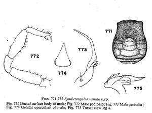 Synthetonychia minuta Forster-1954