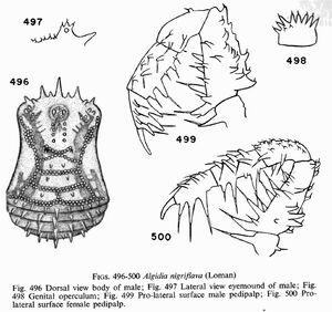 Algidia nigriflava (Loman, 1902)