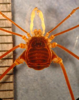 Camarana flavipalpi MZUSP 15821 male 003