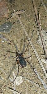 Protolophus niger 1