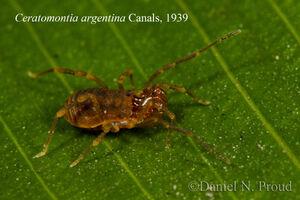 Ceratomontia argentina DSC 3169