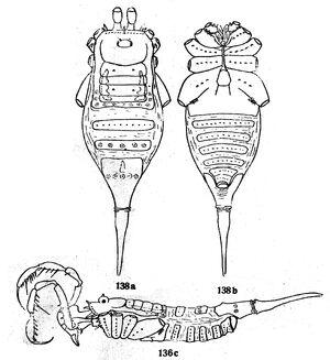 Tengelinia paradoxa Roewer 1935a