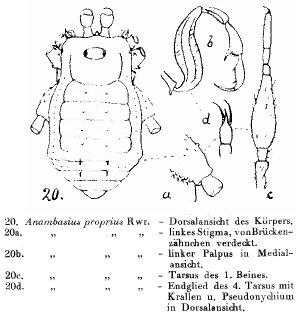 Anambasius proprius Roewer-1940
