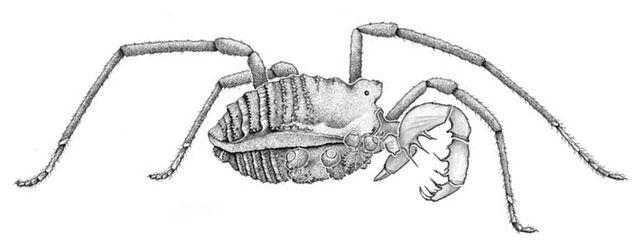 File:Megacina cockerelli.jpg