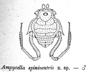 Ampycella spinivestris Roewer 1929f