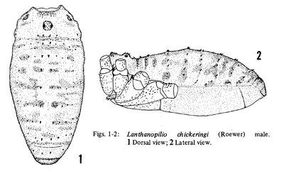 Lanthanopilio chickeringi (Roewer, 1956) by Cokendolpher & Cokendolpher, 1984