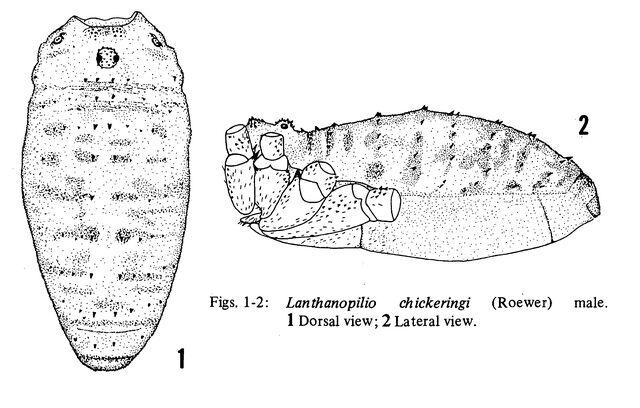 File:Lanthanopilio chickeringi (Roewer, 1956) by Cokendolpher & Cokendolpher, 1984.jpg