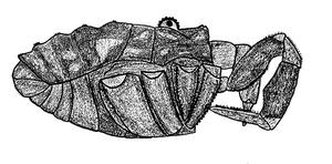Protolophus dixiensis