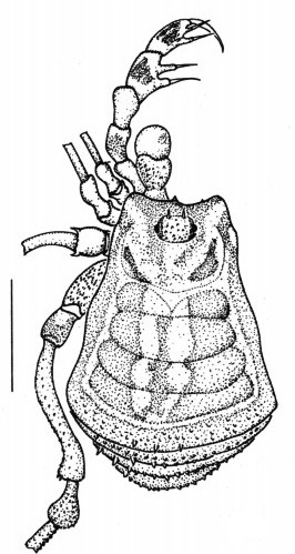 Rivetinus vulcanus