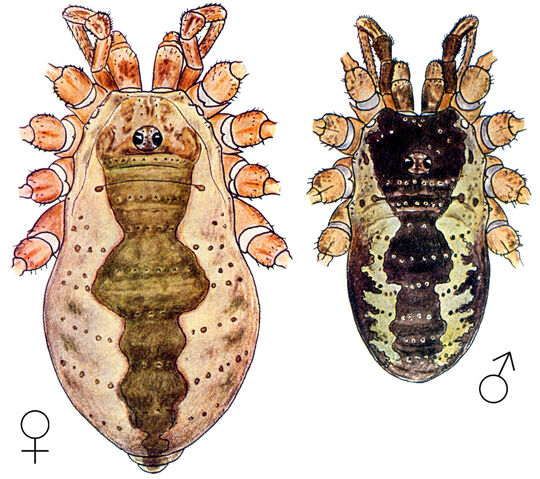 File:Mitopus morio (Fabricius, 1779) by Silhavy 1956a.jpg