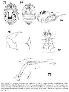 Jussara aureopunctata 24