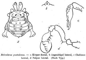Beloniscus pustulosus Loman-1893
