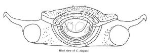 Caelopygus elegans B
