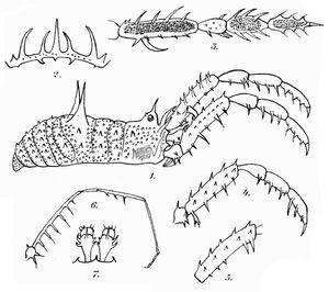 Heteronuncia robusta Roewer, 1920 - OD