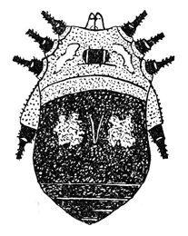 Eugagrella cuernosa