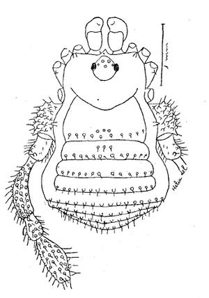 Zalanodius insulanus Soares-H-1966e