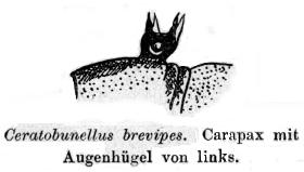 Ceratobunellus brevipes