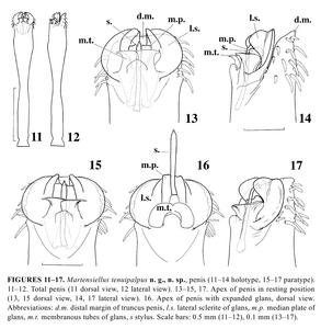 Martensiellus tenuipalpus Schweninger-2006-7
