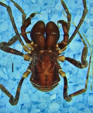 Zamora granulata macho (MNRJ 2410) Sucumbios