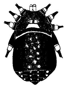 Jussara argentata