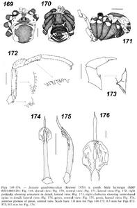 Jussara quadrimaculata 47