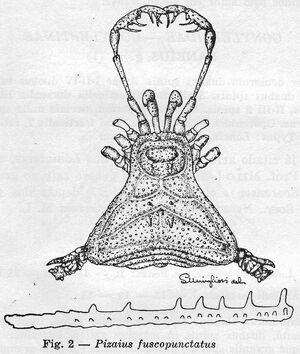 Pizaius fuscopunctatus
