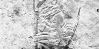 Oligoopilionus