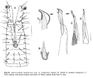 Americovibone lanfrancoae h-c-199138