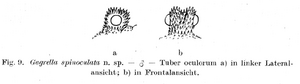 Gagrella spinoculata Roewer, 1931c