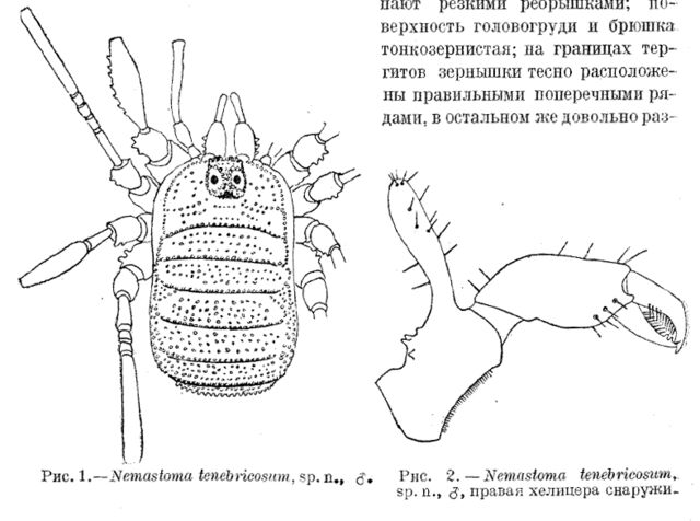 File:Giljarovia tenebricosa (Redikortsev, 1936).jpg