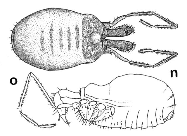 File:Nemaspela abchasica (Lyovushkin & Starobogatov, 1963) by Martens 2006.jpg