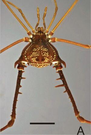 Gonyleptes pustulatus (MNRJ 17456)