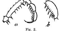 Beloniscus simaluris