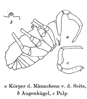 Protolophus longipes 1