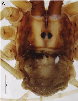 Forsteropsalis photophaga T+P-2014-A