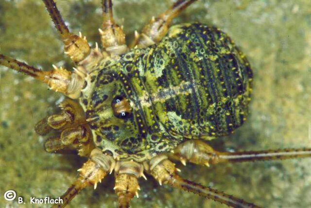 File:Lacinius dentiger (Halltal, Österreich, 1998).jpg