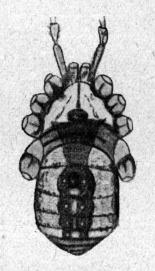 Gagrellula scabra