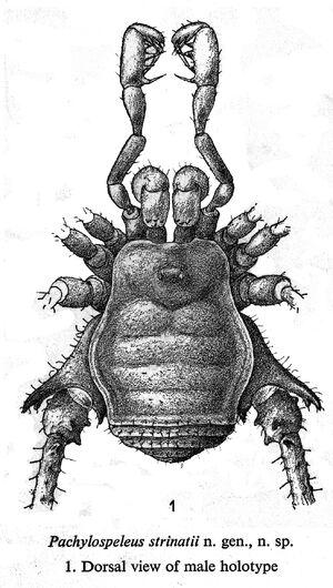 Pachylospeleinae Silhavy 1974