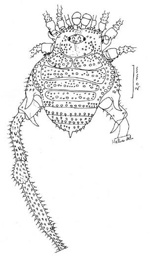 Hutamaia caramaschii S&S-1977