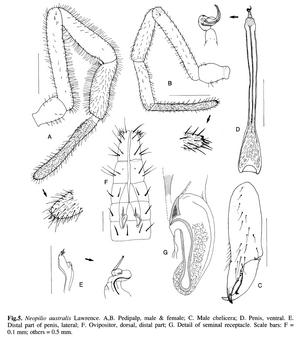 Neopilio australis Lawrence-1931