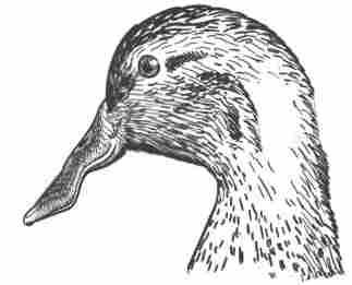 File:Duck-Rabbit illusion.jpg