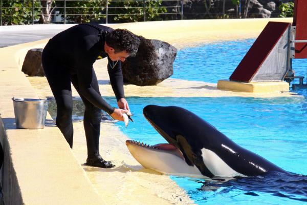File:1322671388961 111130 tfe orca loroparque 01.jpg