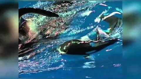 What's it like to watch a killer whale give birth?