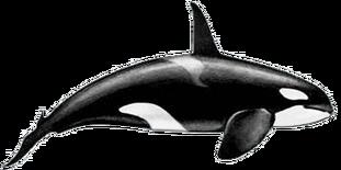 Killer-whale-male
