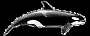 Killer-whale-female
