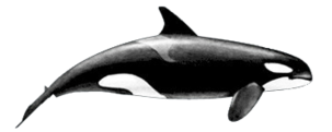 Killer-whale-female