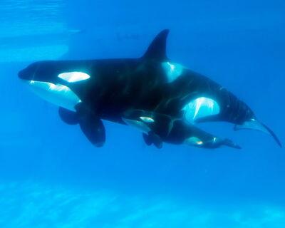 Killer Whale Kasatka Gives Birth SeaWorld qdgqb1uX0mrl