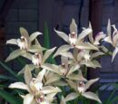 Cymbidium Veitchii