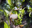 Cypripedium × columbianum