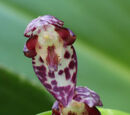Pleurothallis restrepioides